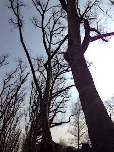 Kahle Baumstämme, Bäume einer Allee, von unten fotografiert mit blauem Himmel