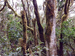 Bemooste knorrige Bäume in einem Urwald auf Gomera