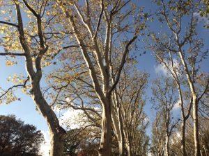Eine Allee in Berlin, Bäume vor blauem Himmel, von unten fotografiert