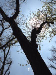 Baum vor Himmel von unten fotografiert